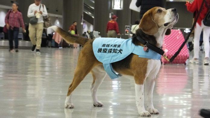 日本动物检疫所关于禁止访日旅客违法携带肉制品入境的公告 | Japan's Animal Quarantine Service Alerts Foreign Tourists Visiting Japan
