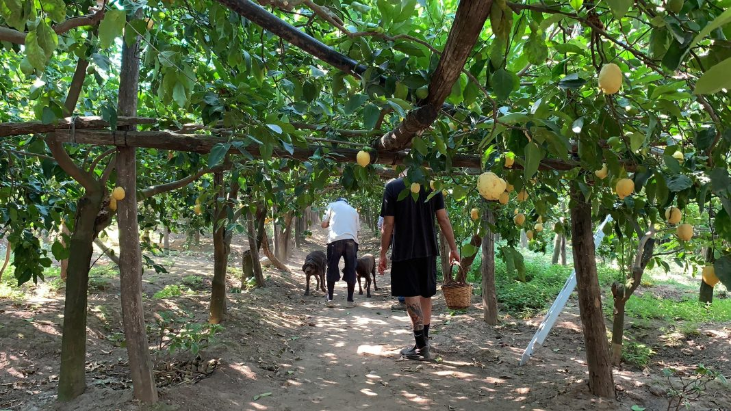 "名厨Ernesto从家族的17英亩有机农场""Le Peracciole""满是柠檬林 